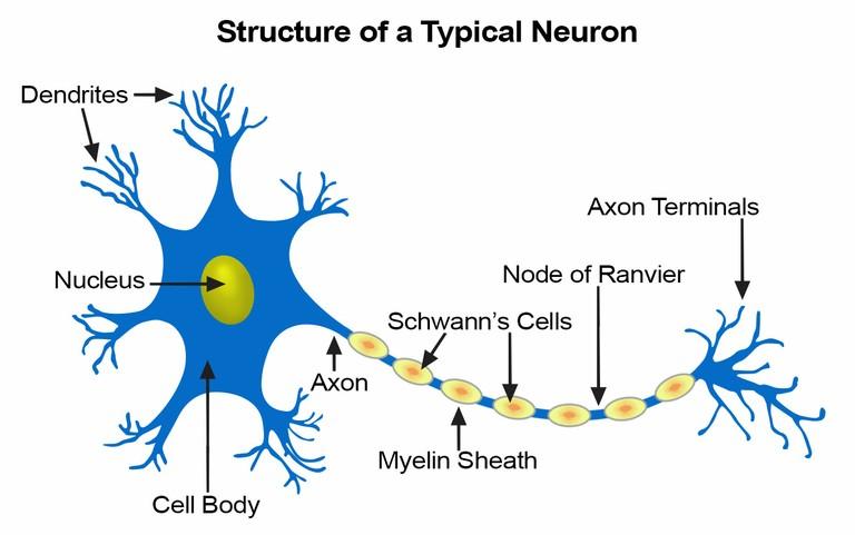 Neuron_Structure_090420A
