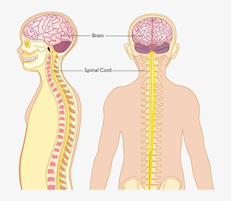 The Central_Nervous_System_PNGKEY_090520A