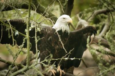 Eagle_California_102012